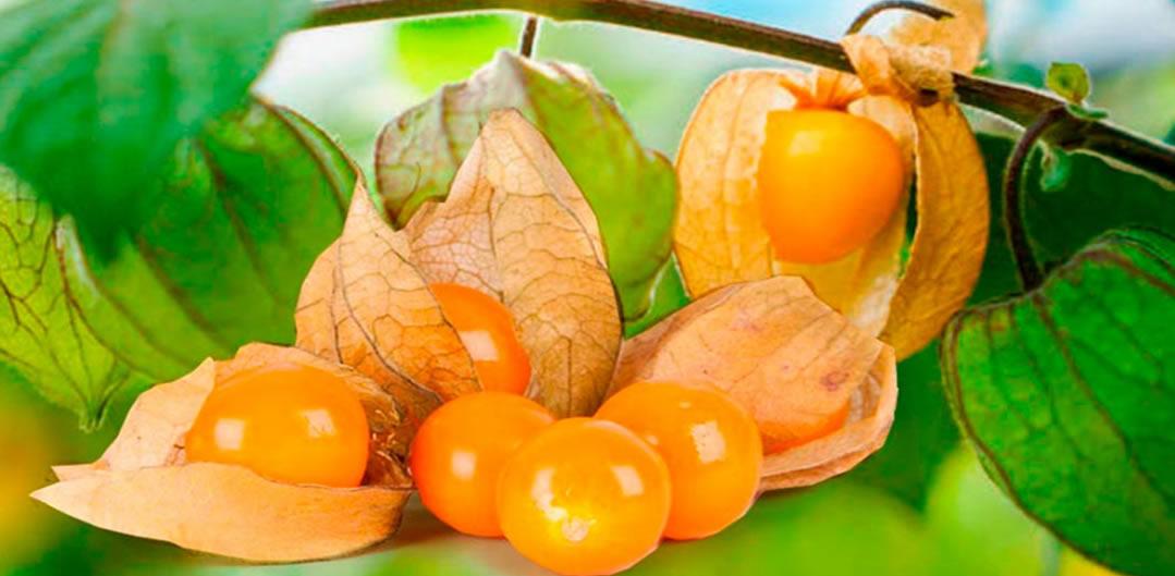 La Uchuva es una de las frutas embajadoras de Colombia y una de las alternativas más importantes para cuidar de la salud.